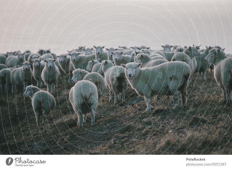 #As# SchafHaufen Menschenleer Tiergruppe Landschaft Nutztier Herde Außenaufnahme Farbfoto Wiese Natur schafe zählen Ohren Neuseeland Schafe Schafe scheren