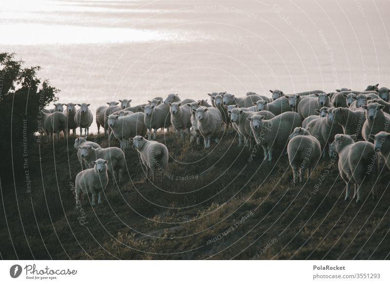 #As# Schafe am Stehen Schafherde Schafswolle Merino Schafe Schafe erschrecken Wolle Schafe scheren Nutztiere Neuseeland Ohren schafe zählen Natur Herde
