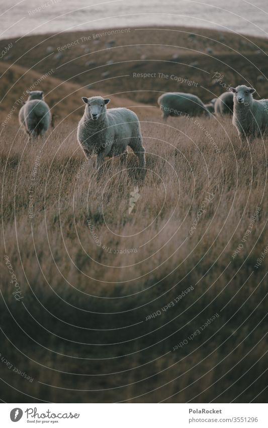 #AS# Schafi Schafi Schafherde Schafswolle Schafe erschrecken Merino Schafe Wolle Nutztiere Schafe scheren Ohren Neuseeland schafe zählen Natur Wiese Farbfoto