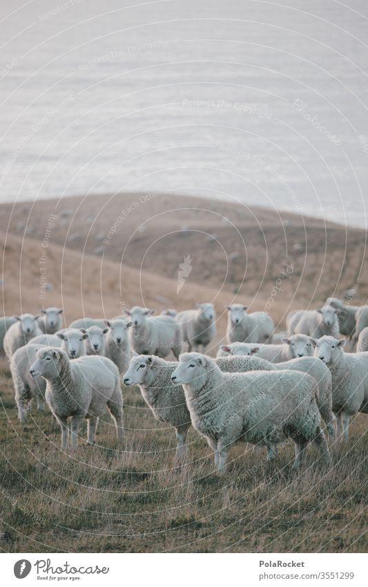 #As# Küstenschafe Menschenleer Tiergruppe Herde Außenaufnahme Wiese Farbfoto Nutztier Landschaft Natur schafe zählen Schafe Neuseeland Ohren Merino Schafe Wolle