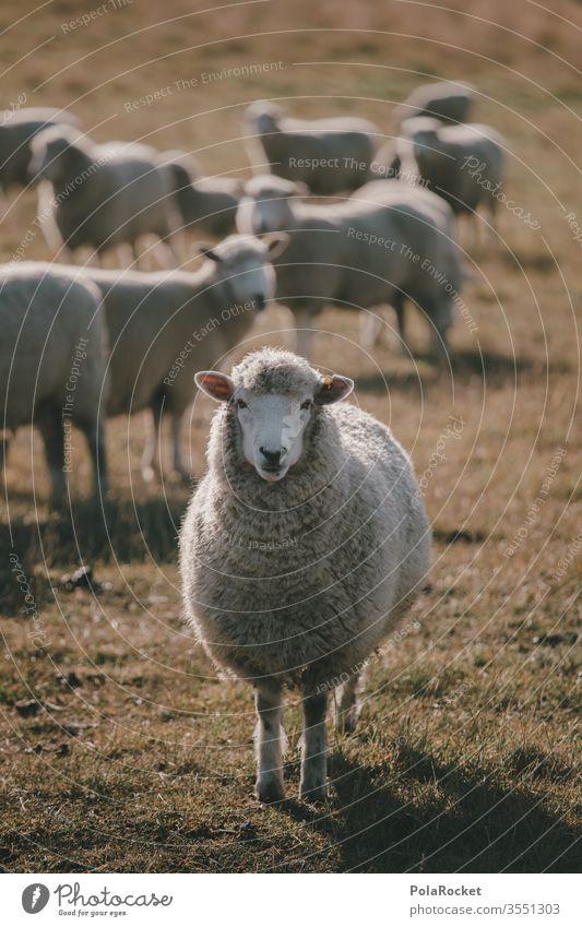 #AS# Mr.Schaf Schafherde Schafswolle Schafe scheren Schafe erschrecken Nutztiere Wolle Merino Schafe Neuseeland Ohren schafe zählen Natur Landschaft