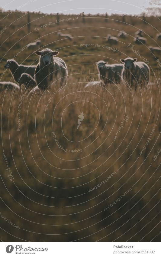 #As# Was-Geht-Schaf Schafherde Schafswolle Schafe scheren Schafe erschrecken Nutztiere Neuseeland Ohren Merino Schafe Wolle schafe zählen Natur Landschaft Wiese