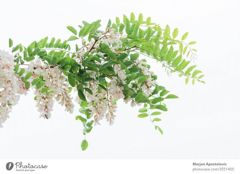 Akazienbaum blüht im Frühling Blütezeit Überstrahlung Blühend botanisch Botanik Ast Knospen Haufen Buchse Öko Ökologie Umwelt Flora geblümt Blume Laubwerk Wald