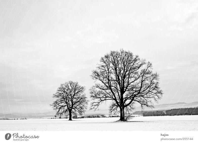 Eichen im Winter schön ruhig Schnee Landschaft Pflanze Wolken Eis Frost Baum Feld Linie alt groß weiß friedlich Trennung kahl Farben spartanisch karg klar