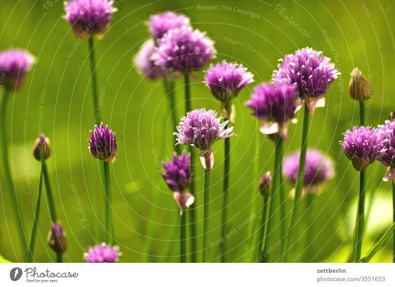 Blühender Schnittlauch schnittlauch blume gewürz blühen blüte garten gras kleingarten kleingartenkolonie tiefenschärfe menschenleer natur pflanze ruhe