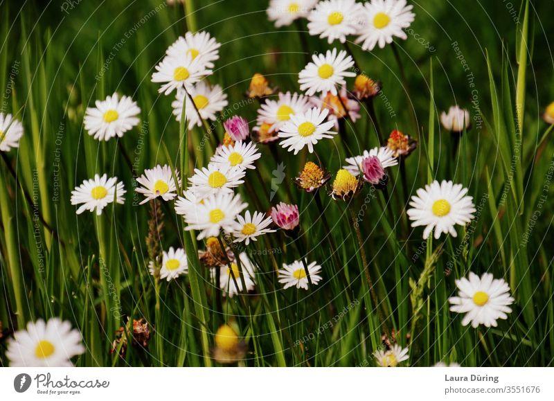 Kleine Blumen zwischen Grashalmen Frühling Garten Natur Lebensraum Biologie natürlich wachsend Arten Erde Flora wild weiß botanisch Wiese Wildblume Saison