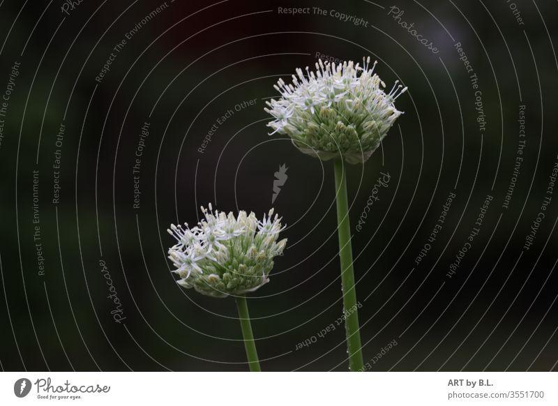 Zierlauch Duo pflanze duo duett two zwei allium zierlauch sterne sternblüte blüten blume blumen weiß