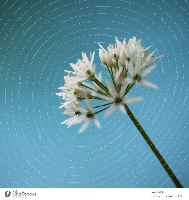 weiße Sternchen | Bärlauchblüte vor hellblauem Hintergrund Natur Pflanze Blume Frühling grün Farbfoto Schwache Tiefenschärfe Nahaufnahme Makroaufnahme Blühend