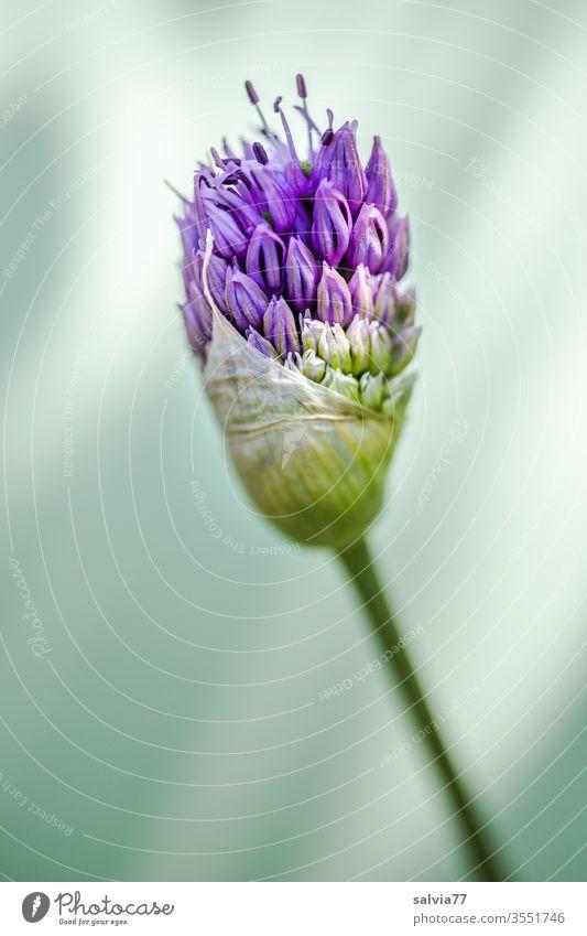 Zierlauchblüte entfaltet sich Allium Blüte Natur Blume Blühend Blütenknospe Pflanze Garten Makroaufnahme Schwache Tiefenschärfe violett Frühling Unschärfe