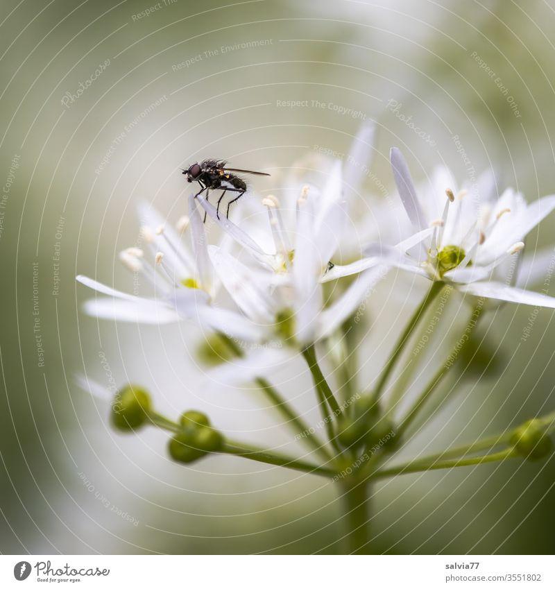 weiße Sternchen | Bärlauchblüte Natur Pflanze Blume Frühling grün Farbfoto Schwache Tiefenschärfe Nahaufnahme Makroaufnahme Blühend Fliege Insekt Menschenleer
