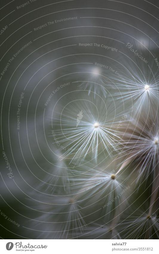 filigrane Schirmchen Natur Pflanze samenstand Pusteblume Frühling Löwenzahn Samen Makroaufnahme Detailaufnahme Blüte zart fein Leichtigkeit schirmchen