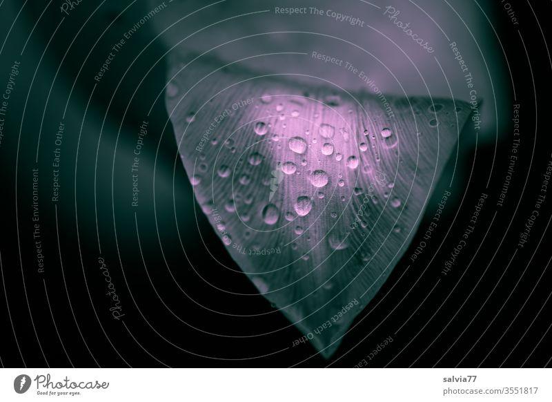 Regentropfen zieren ein Tulpenblatt Natur Tropfen Wassertropfen Blatt Pflanze frisch nass Hintergrund abstrakt Hintergrund neutral Textfreiraum links Garten