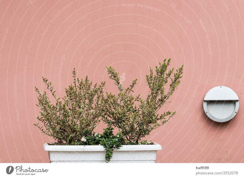 Grünpflanze im Kasten vor mediterraner Fassade Pflanze grün Natur frisch Zutaten Blatt Kräuter & Gewürze Blätter natürlich organisch