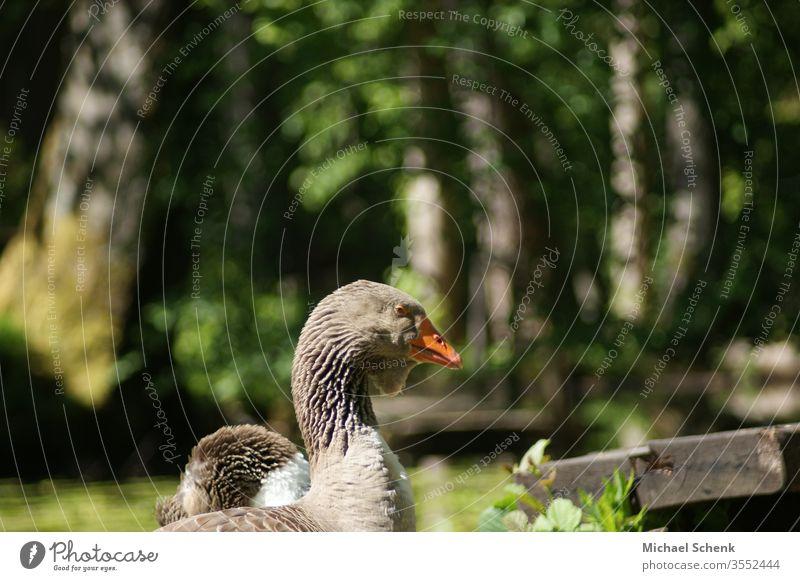 Eine Graugans an einem See Im Odenwald Tier Wildgans Gans Wildtier Vogel Außenaufnahme Tierporträt Nahaufnahme wasservogel grau Flügel Gänse Flug fliegen