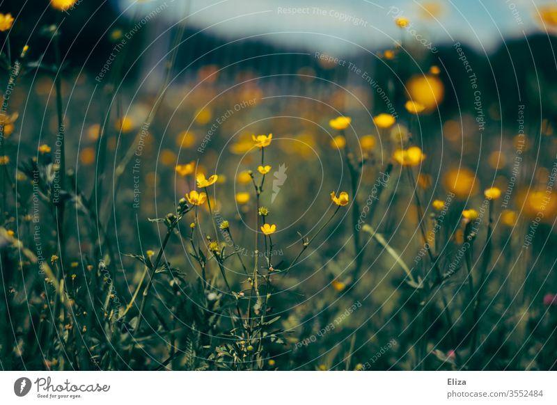 Viele gelbe Butterblumen auf einer Blumenwiese im Frühling. Wildblumen. Wiese blühen Blühend Garten Gras Sommer Wiesenblume blau Natur bunt Idylle