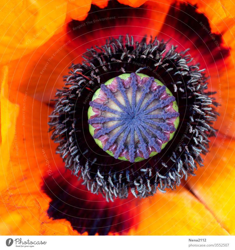 geometrie der Natur blume pistil sonnenblume rund kreis natur bund kräftige Farben orange rot gelb warme töne Strukturen & Formen garten blumenliebe