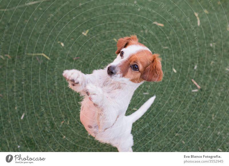 süßer kleiner Hund, der auf zwei Beinen stehend um Futter oder Leckerlis bittet. süße Pfoten bettelnd. Ansicht von oben. Konzept und Lebensstil der Liebe zu Tieren