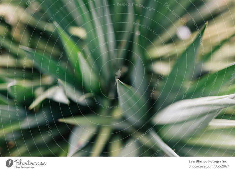 Nahaufnahme einer Makroaufnahme der grünen, stacheligen Blätter eines Kaktus. Ansicht von oben. Konzept Natur Landschaft Tequila Blatt trocken Agave Garten