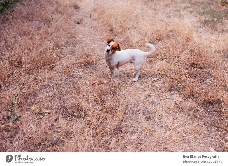 Der niedliche kleine Hund sitzt abends bei Sonnenuntergang mitten in einem Kornfeld. Kleiner lachender Hund im Freien. Konzept der Liebe zu Tieren Landschaft