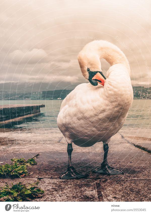 Schwan am Zürichsee Feder Schwanensee weiß Vogel See Wasser Tier Außenaufnahme Hals schön Im Wasser treiben Flügel Natur Blick elegant Teich Schnabel Wellen