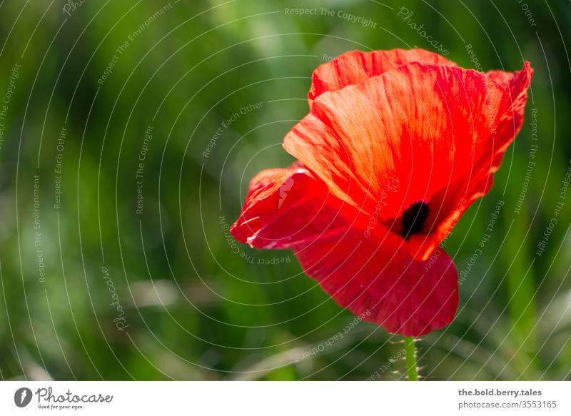 Mohnblume Blume Blüte Pflanze rot Natur Sommer grün Mohnblüte Farbfoto Feld Außenaufnahme Wiese Blühend Schwache Tiefenschärfe Wildpflanze Sonnenlicht