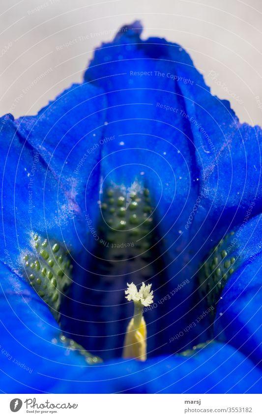 Enzian Enziangewächse Stempel Wildpflanze natürlich blau enzianblau einzigartig Kontrast Licht Natur außergewöhnlich Schwache Tiefenschärfe Makroaufnahme frisch