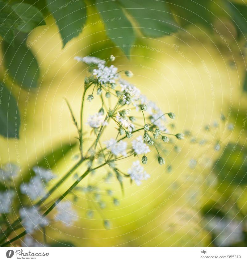 un(heil)kraut Sommer Schönes Wetter Pflanze Blatt Blüte Wildpflanze Doldenblüte Wilde Möhre Stengel Feld Wald gelb grün weiß Heilpflanzen Unkraut Blütenknospen