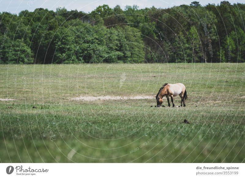 Märkische Heide Wiese Pferd Wald Landschaft Natur Außenaufnahme Farbfoto Umwelt Himmel Baum Przewalski fressen grasen Gras grün Pony braun Sommer Tier Weide