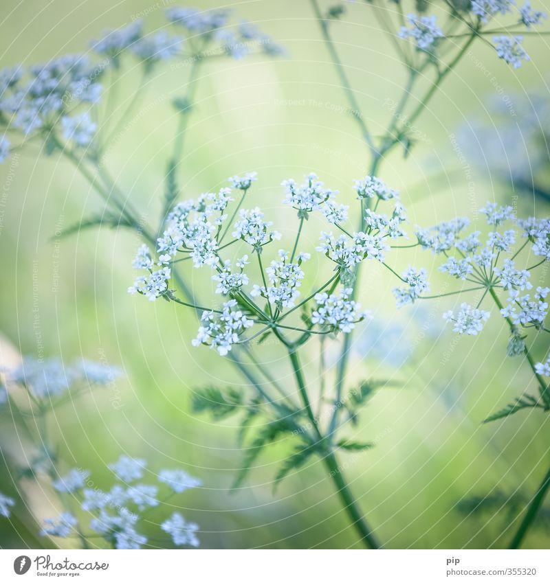 (un)heilkraut Pflanze Sommer Schönes Wetter Blatt Blüte Wildpflanze Doldenblüte Wilde Möhre Heilpflanzen Unkraut Wiesenblume Feld grün weiß zart zartes Grün