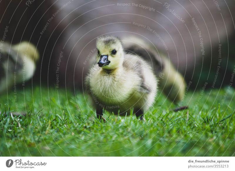Junges Gänseküken Gans Küken niedlich Kanadagans Vogel Tier Außenaufnahme Farbfoto Tierjunges Wildtier Natur Umwelt Menschenleer Gras Wiese Tierporträt Frühling