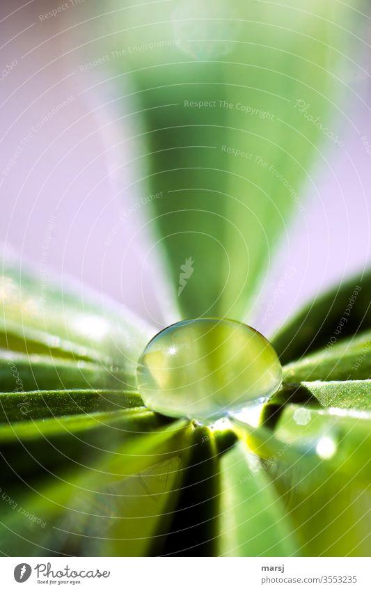 Praller Wassertropfen auf Lupinenblatt Regentropfen Oberflächenspannung Flüssigkeit Tropfen Natur frisch Pflanze erfrischend Erfrischung natürlich leuchten
