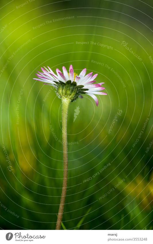 Gänseblümchen aus Froschperspektive Blüte Blume Wildpflanze Frühling zartes Grün Wiese mehrfarbig Farbfoto 1 fein Einsamkeit Hoffnung bescheiden
