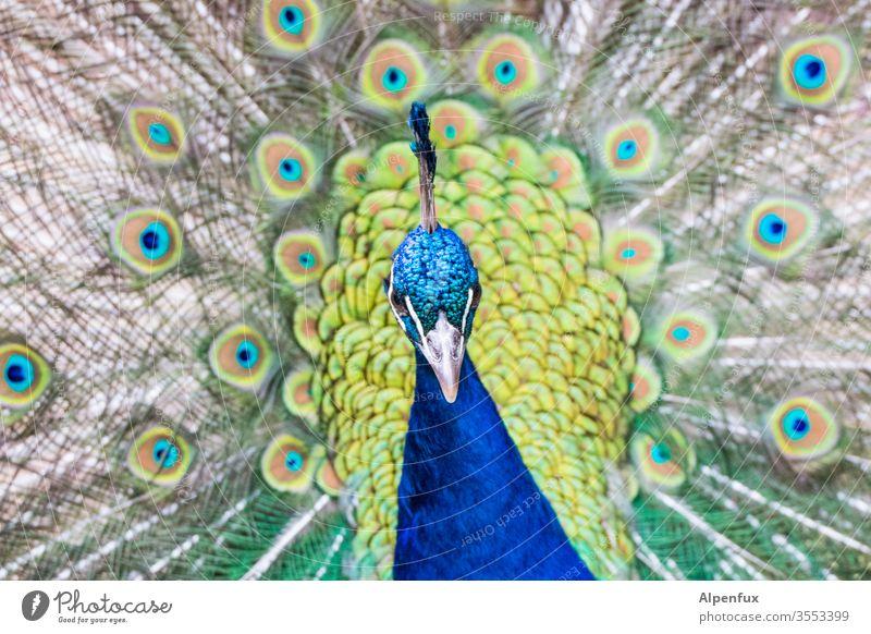 Augenblicke Pfau Vogel Feder blau schön Menschenleer Pfauenfeder Schnabel Stolz Farbfoto ästhetisch eitel Tier Tierporträt Außenaufnahme Nahaufnahme Blick