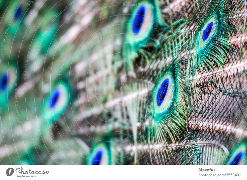 fremde Federn Pfau Vogel Pfauenfeder Farbfoto schön Außenaufnahme Menschenleer Tierporträt ästhetisch Nahaufnahme mehrfarbig Brunft elegant eitel Natur exotisch
