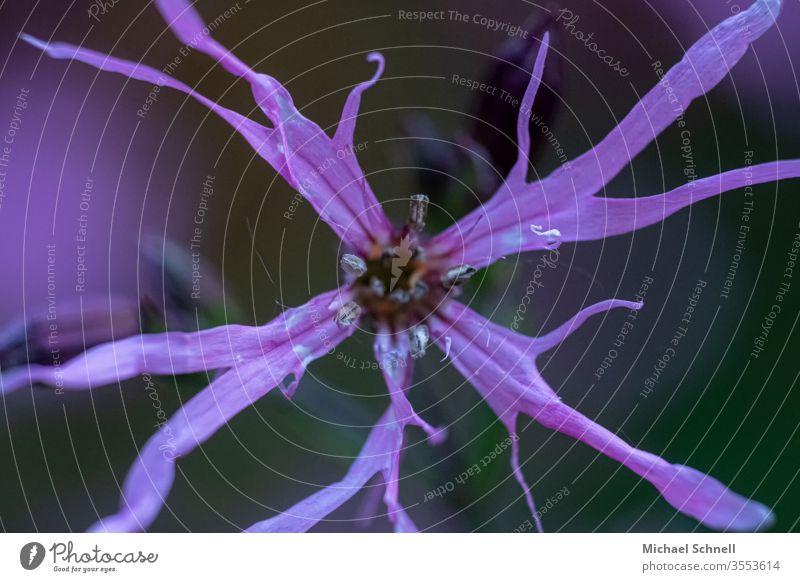 Welke Blume verwelkt Natur Farbfoto Pflanze Blüte Makroaufnahme Garten Schwache Tiefenschärfe violett verblüht verblühen