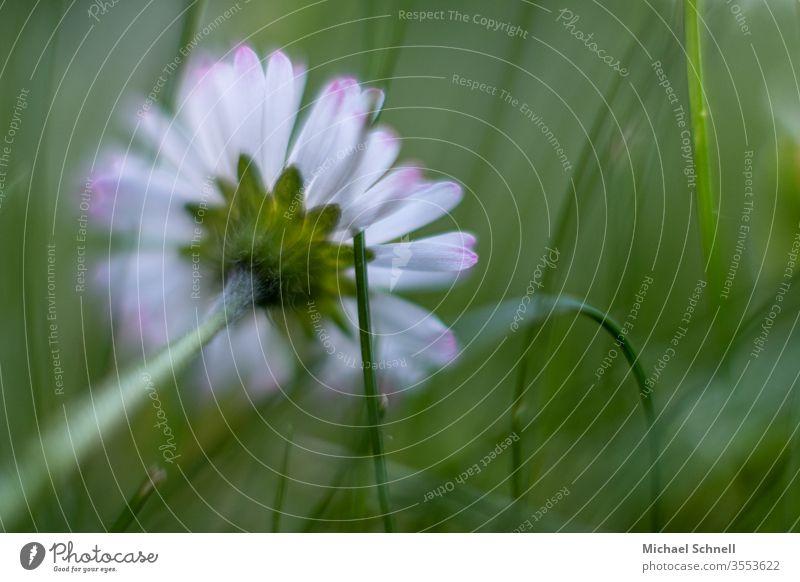 Gekipptes Gänseblümchen in der Wiese Blume Frühling grün Gras Natur Blüte Pflanze Nahaufnahme Makroaufnahme weiß Blühend