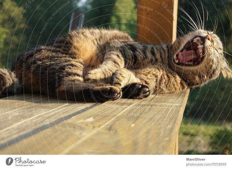 Katze beim gähnen / Katze lacht katze katzen gähnen katze am gähnen kater Tier Haustier Müdigkeit Gebiss Tiergesicht Zunge Tierporträt müde müde katze