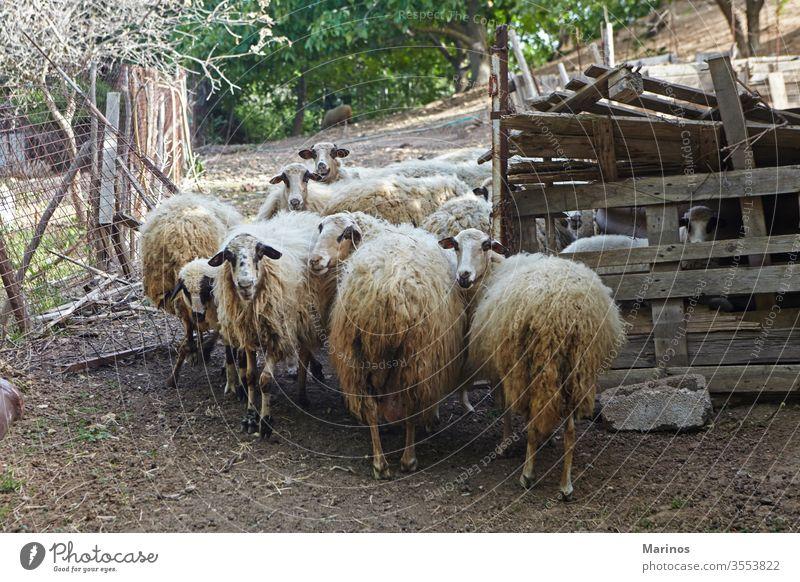 mehrere Schafe in der Scheune Industrie Bauernhof Ackerbau Lamm Tiere Viehbestand Säugetier Wolle ländlich hölzern Landwirtschaft Zucht Natur Herde
