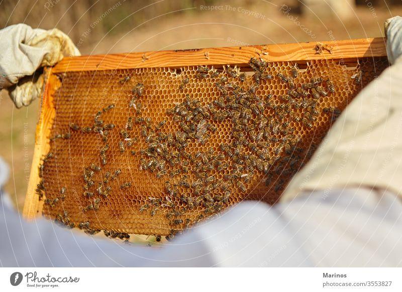 Imker hält eine Honigzelle mit Bienen in der Hand arbeiten Zelle Insekt Bienenzucht Beteiligung Landwirtschaft Rahmen Wabe Wachs Bienenkorb Natur Arbeiter