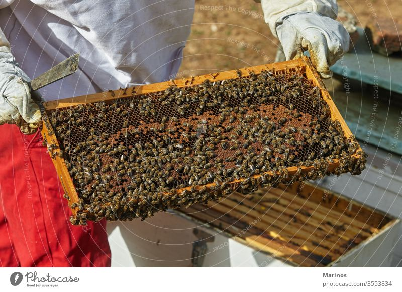 Imker hält eine Honigwabe mit Bienen in den Händen. arbeiten Zelle Insekt Bienenzucht Beteiligung Landwirtschaft Rahmen Wabe Wachs Bienenkorb Natur Arbeiter