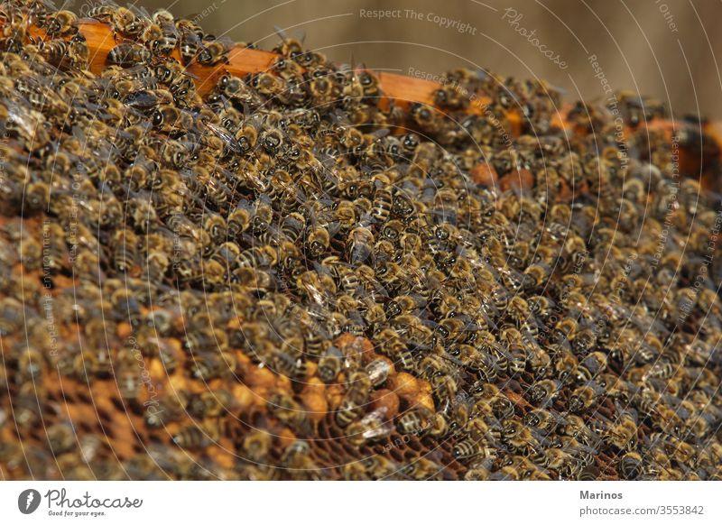 Nahaufnahme von Bienen auf Honigzellen. arbeiten Zelle Insekt Bienenzucht Beteiligung Landwirtschaft Rahmen Wabe Wachs Bienenkorb Natur Arbeiter Imker Liebling