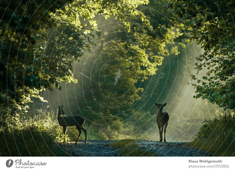 Damhirsch und Ricke auf einem Waldweg Damwild Reh Natur Außenaufnahme Tierporträt Menschenleer Wildtier Farbfoto Umwelt beobachten Schwache Tiefenschärfe Gras