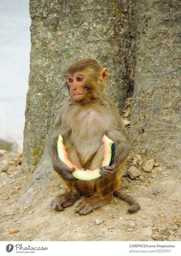 ein Affe mit einer Scheibe Wassermelone in den Händen Tier Textfreiraum Essen Gesichtsausdruck Frucht Sitzen Baum Natur im Freien Tag