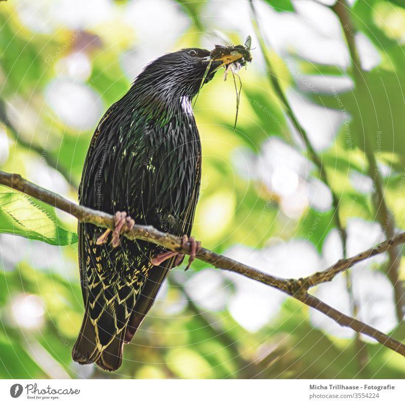 Star mit Insekten im Schnabel Sturnus vulgaris Vogel Tiergesicht Auge Flügel Feder Krallen Fressen Futter Fliegen Nachwuchs Baum Wildtier Natur Zweige u. Äste