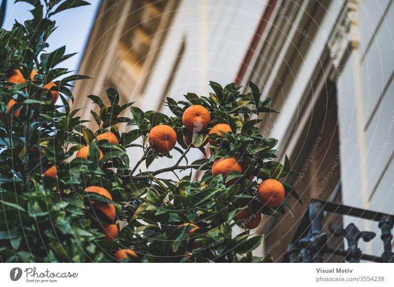 Bittere Orangen, die nachmittags auf den Zweigen eines Citrus aurantium-Baums in der Nähe eines alten Hauses wachsen orange Zitrusfrüchte