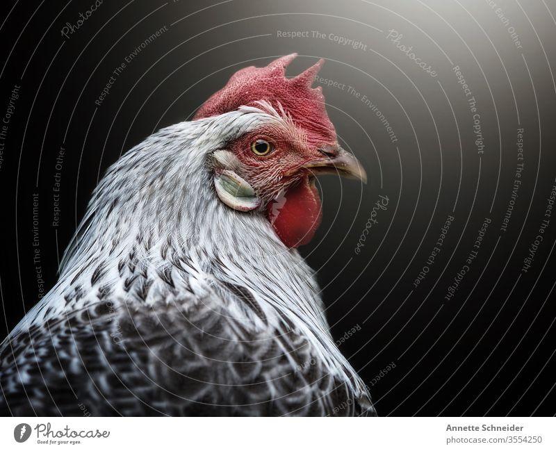 Hahn Blick nach vorn Tierporträt Hintergrund neutral Freisteller Gedeckte Farben Farbfoto weiß rot mehrfarbig Haushuhn 1 Nutztier Haustier