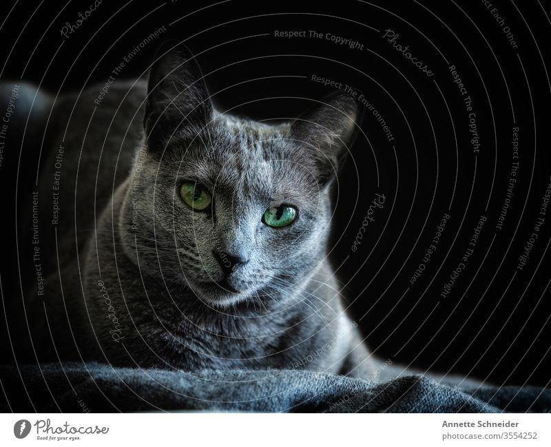 Katze Russisch blau Blick in die Kamera Tierporträt Hintergrund neutral Studioaufnahme Farbfoto grau klug Haustier 1