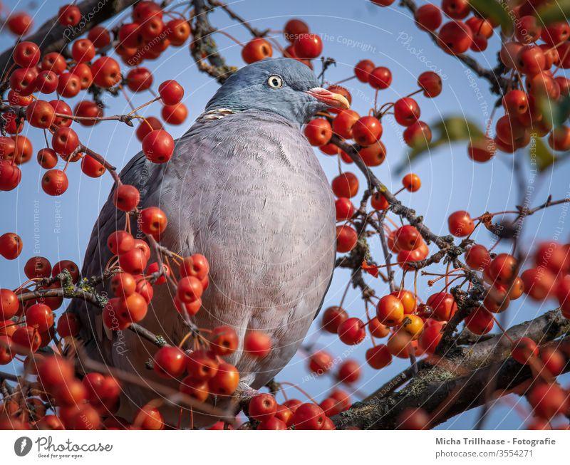 Ringeltaube zwischen Beeren Taube Columba palumbus Kopf Auge Schnabel Feder gefiedert Flügel Tiergesicht Vogel Tierporträt Krallen Wildtier Baum Zierapfel