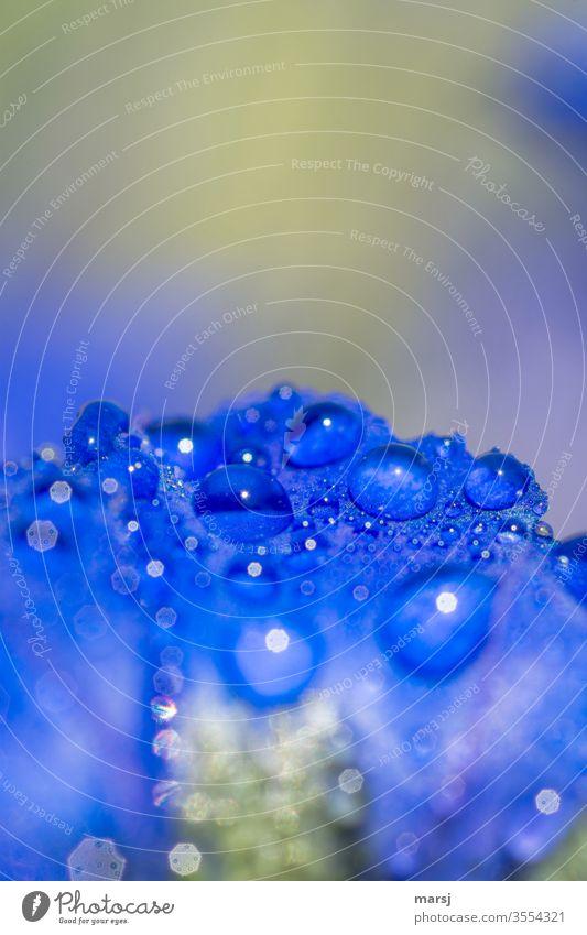Wassertropfen auf Enzianblau Enziangewächse Wildpflanze Leben einzigartig natürlich belebend erfrischend Garten Detailaufnahme Makroaufnahme Pflanze enzianblau