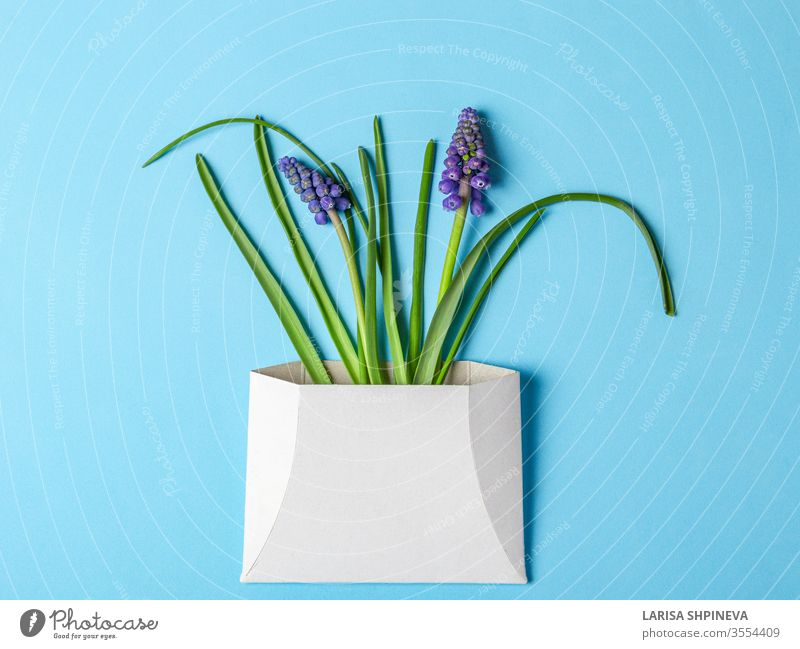 Muskari-Frühlingsblumen in weißem Umschlag auf blauem Hintergrund Blume Postkarte Kuvert Brief Papier Tag schön Gruß Geschenk Design Bändchen Narziss